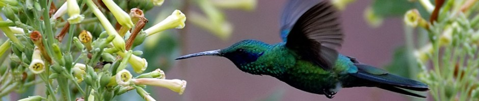 cropped-flying-colibri-bird
